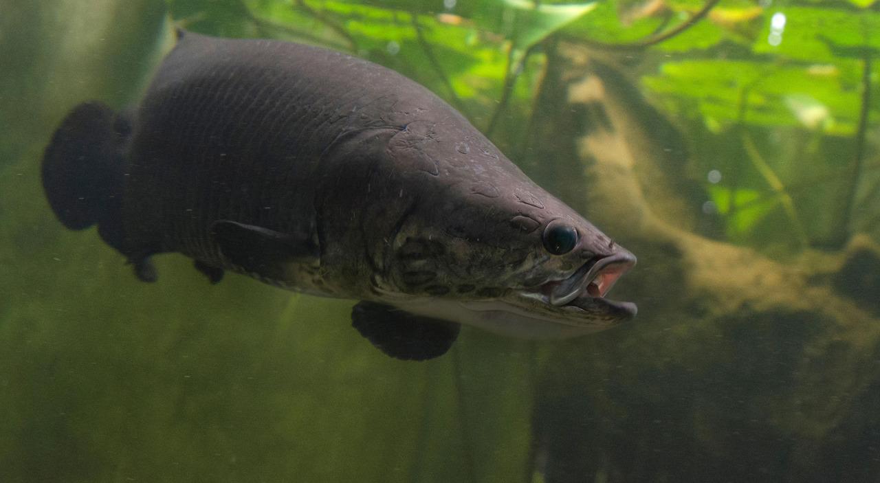 Photo of Penemuan Baru Ikan Gergasi Yang Boleh Bernafas Di Udara!