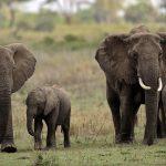 Gajah Selamatkan Mangsa Bencana Alam