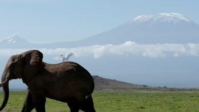 Photo of Gading Palsu Untuk Menyelamatkan Gajah