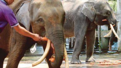 Photo of The Future of Borneo's Unique Pygmy Elephants