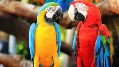 Photo of Bagaimana Burung Kakak Tua Boleh Bercakap Macam Manusia?