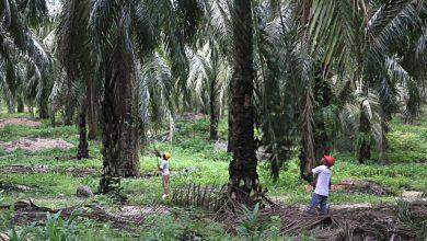 Photo of Benarkan Pelarian Bekerja Dalam Sektor Perladangan – UNHCR