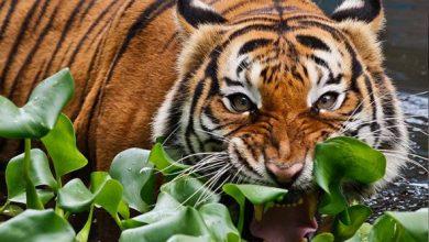 Photo of Populasi Kurang 200 Ekor, Adakah Harimau Bakal Meninggalkan Belang?