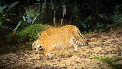 Photo of Mari Lakukan Sesuatu Untuk Menyelamatkan Harimau Kita Sebelum Terlambat