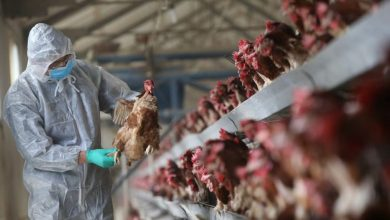 Photo of Wabak Selesema Burung H5N1 Pula Menular di China