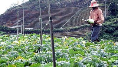 Photo of Bagaimana Lazada Membantu Petani Cameron Highland Yang Kerugian